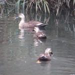 カルガモさんの池