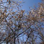 3/27(水) 山桜の開花状況