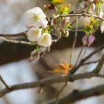 3/21(木)山桜の開花状況