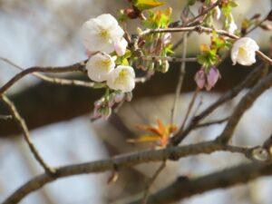 山桜の開花状況
